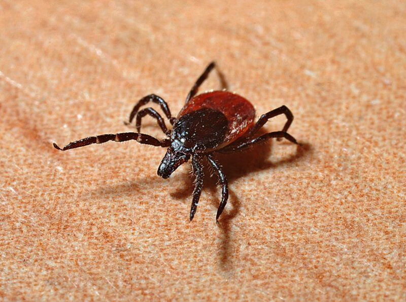 If you're dealing with frequent ticks in your home, you need to eliminate them for good. How? Learn how to deal with your tick infestation here.