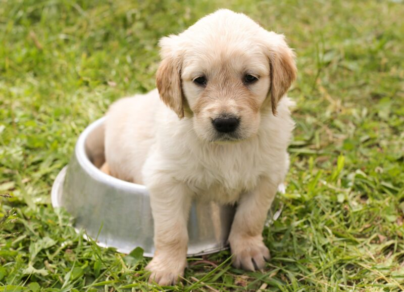 If you're looking at getting a family dog, there are some breeds that are better than others. Here are five of the best family dogs.
