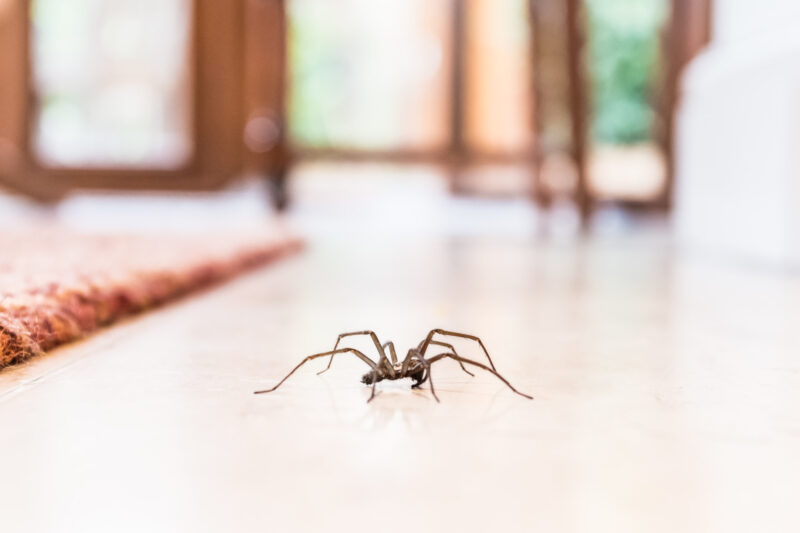 House spiders are a nuisance to deal with, but you need to know the different types to properly get rid of them. Click here to learn more.
