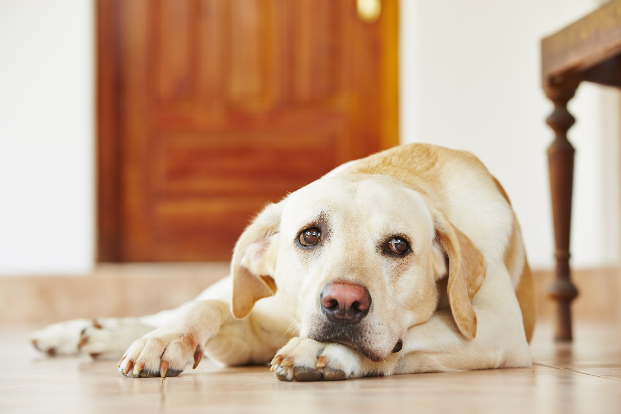 If you get ready to leave your house and notice your dog getting antsy, they might suffer from separation anxiety. Learn the symptoms of dog separation anxiety.